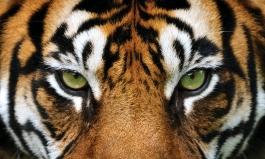 Tigers-Eyes