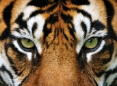 Tygrys Norton Quantum3